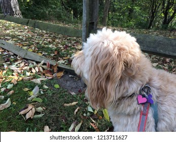 goldendoodle at the park in autumn