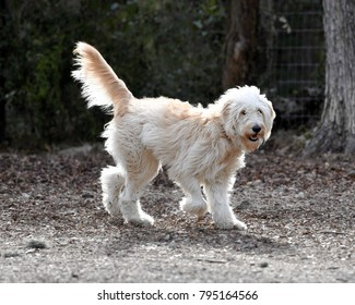 Goldendoodle playing in the dog park