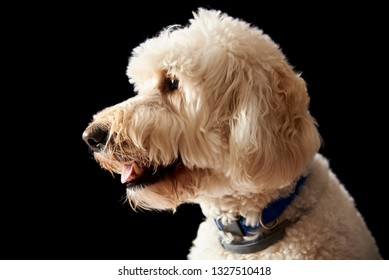 Goldendoodle portrait on a black background goldendoodles are a mix of a poodle and a golden retriever