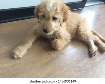 goldendoodle puppy laying on floor