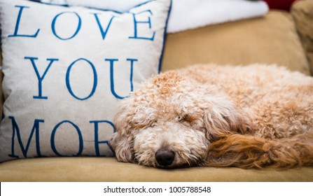 Goldendoodle puppy laying on sofa with a Love You More pillow