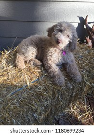Goldendoodle Puppy on a hay bail