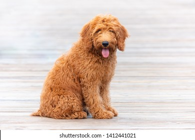 Goldendoodle Dog Images, Stock Photos & Vectors | Shutterstock