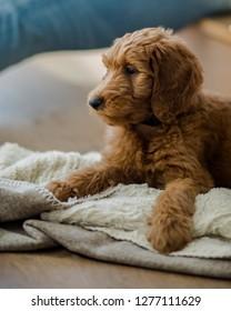 Goldendoodle Puppy Portrait in Los Angeles, California