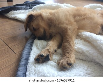 goldendoodle puppy sleeping on blanket