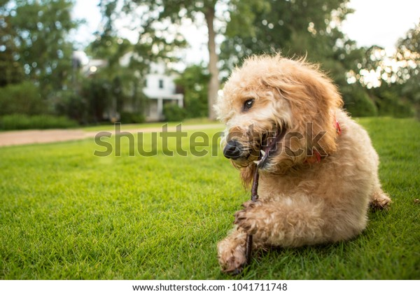 Goldendoodle puppy takes a break to chew a stick at the park