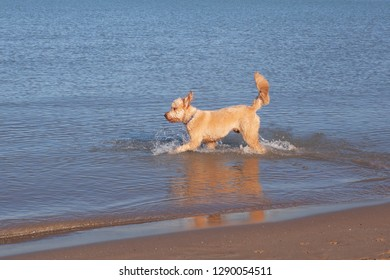A Goldendoodle running through the waters of Lake Michigan at Montrose Dog Beach in Chicago
