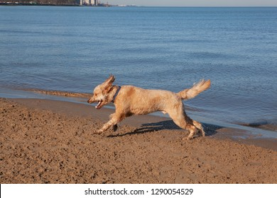 A Goldendoodle runs on the sand along the shore of Lake Michigan in Chicago at the Montrose Dog Beach
