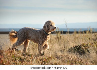 Goldendoodle standing in field with one paw up