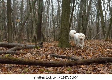 Goldendoodle in the Woods
