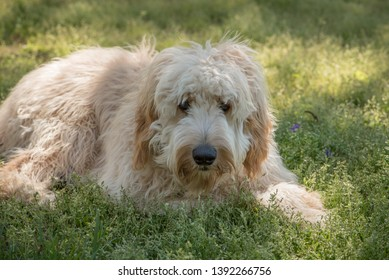 Goldendoodles are a canine mix of a golden retriever and a poodle. This is a beautiful goldendoodle with a smile on her face looking at the camera after playing ball.