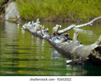 Goldeneye perched on log in lake