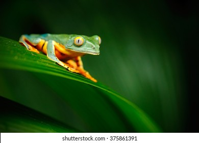 Golden-eyed leaf frog, Cruziohyla calcarifer, green frog sitting on the leaves in the nature habitat in Corcovado, Costa Rica.