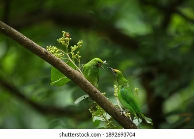 Goldener Blattvogel in der Natur