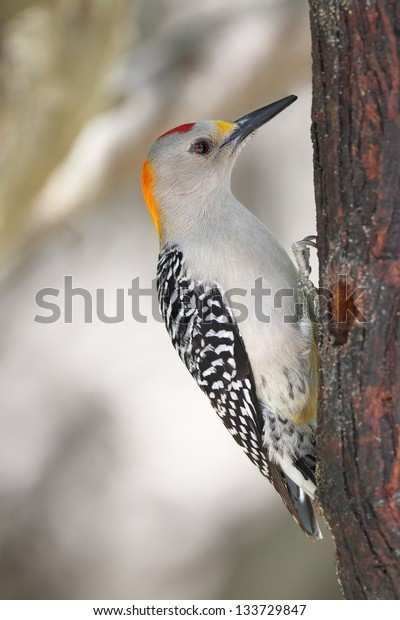 Golden-fronted Woodpecker (Melanerpes aurifrons) on a Tree Trunk - Texas