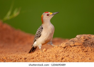 Golden-fronted Woodpecker on the ground during spring migration at Laguna Seca Ranch, April 17, 2015 in Edinburg, TX.