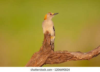 Golden-fronted Woodpecker on a perch during spring migration at Laguna Seca Ranch, April 17, 2015 in Edinburg, TX.