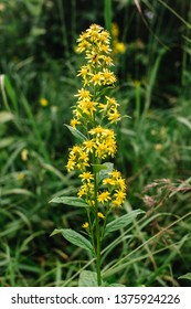 Goldengende or Solodago virgaurea. Goldenrod is used to reduce pain and swelling, as a diuretic, to increase urine flow, and to stop muscle spasms. A fly sits on a flower