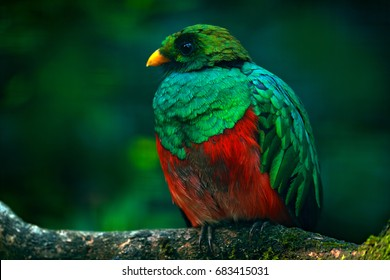 Golden-headed Quetzal, Pharomachrus auriceps, Ecuador. Magical colorful bird from dark tropical forest.