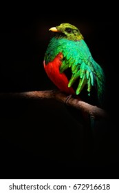 Golden-headed Quetzal, Pharomachrus auriceps, Magnificent sacred green and red bird. Detail portrait of Quetzal from Colombia with blurred dark green forest in background.