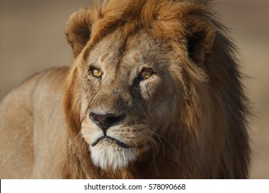 Golden-maned lion portrait, Serengeti National Park, Tanzania.