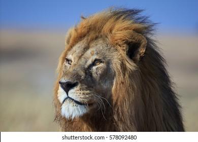 Golden-maned lion, Serengeti National Park, Tanzania.