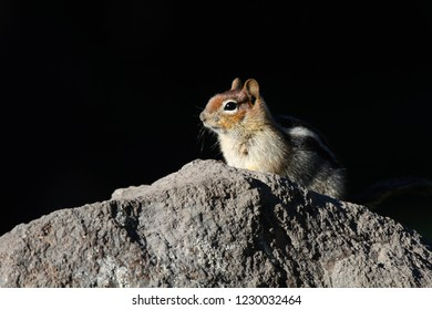 Golden-mantled ground squirrel (Callospermophilus lateralis), Sun Notch, Crater Lake National Park, Oregon, USA