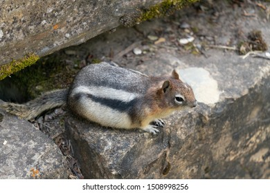 Golden-mantled Ground Squirrel (Callospermophilus lateralis), Waterton Lakes National Park, Alberta, Canada