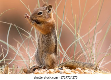 Golden-mantled Ground Squirrel (Callospermophilus lateralis). Bryce Canyon National Park, Utah, USA.