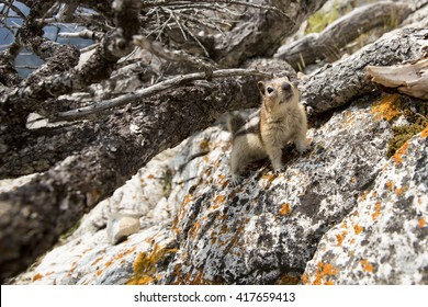 Golden-Mantled Ground Squirrel (Callospermophilus lateralis) sheltering underneath a dead shrub on a rocky outcrop in the Canadian Rockies.