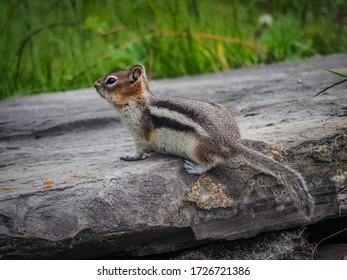 Golden-mantled ground squirrel in Canada