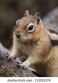 Golden-mantled ground squirrel poses on a rock in Glacier National Park, along the Hidden Lake hiking trail at Logan Pass
