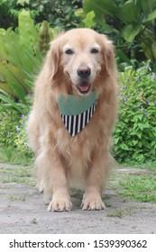 Goldenretriever dog  standing happy smiling in the garden.