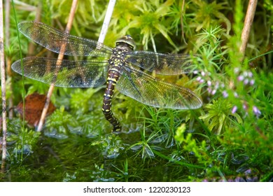 Golden-ringed Dragonfly (Cordulegaster boltonii), female ovipositing (egg-laying) in a pond, Loch Lomond and The Trossachs National Park, Scotland, UK.