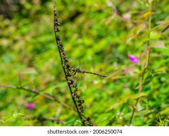 Golden-ringed dragonfly (Corduligaster boltonii) on flower stem in Fore Wood ancient landscape, Crowhurst, England