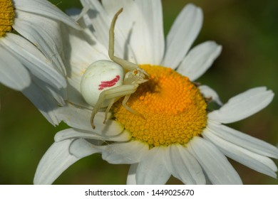 Goldenrod Crab Spider resting on an Ox-eye Daisy in ambush position waiting for a victim to land on the flower. Carden Alvar Provincial Park, Kawartha Lakes, Ontario, Canada.