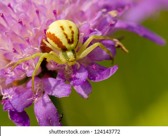 Goldenrod Crab spider sitting on a flower - Misumena vatia