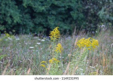 Goldenrod in a flower meadow in front of a dark forest