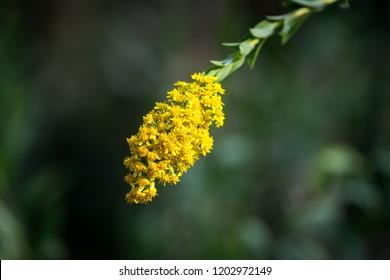 Goldenrod flower panicle as blooming season. Natural macro selected focus.
