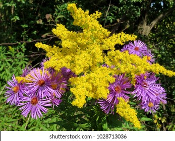 Goldenrod flower and wild aster in forest of Thornhil, Canada, September 20, 2017