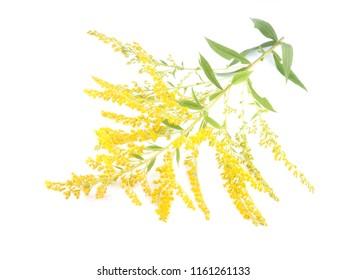 goldenrod flowers on white background