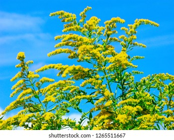 Goldenrod (Solidago virgaurea) is a perennial herb of the Aster family. Many species of goldenrod are good honey plants, used as medicinal, dyeing and tanning plants.