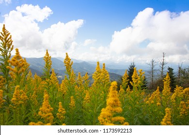 Goldenrod wildflowers in the foreground of a beautiful mountain landscape on Round Bald in the Roan Highlands of North Carolina
