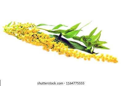 Goldenrods (Solidago gigantea) flowers isolated on white. Goldenrod flowers on white background.
