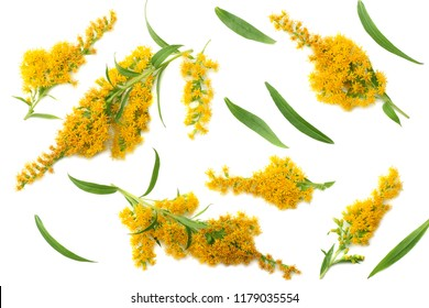 Goldenrods ( Solidago gigantea ) flowers isolated on white background. top view