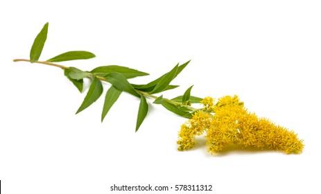 Goldenrods (Solidago gigantea) flowers isolated on white