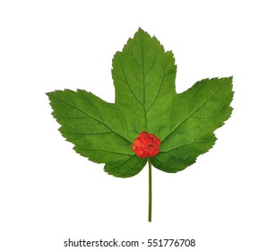 Goldenseal leaves (Hydrastis Canadensis) isolated on a white background.
