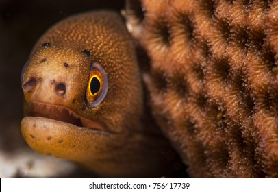 Goldentail Moray Eel and Coral - a tiny and cute eel photographed in The Bahamas
