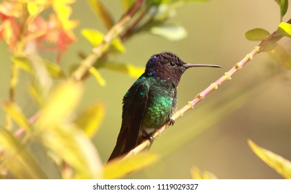 Golden-tailed Sapphire male hummingbird perched on a branch in the rainforest Venezuela
