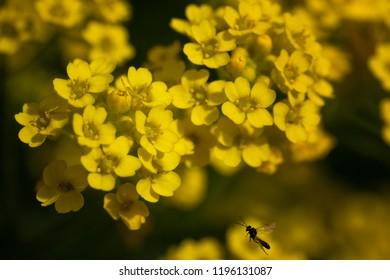 Goldentuft alyssum (Alyssum saxatile)